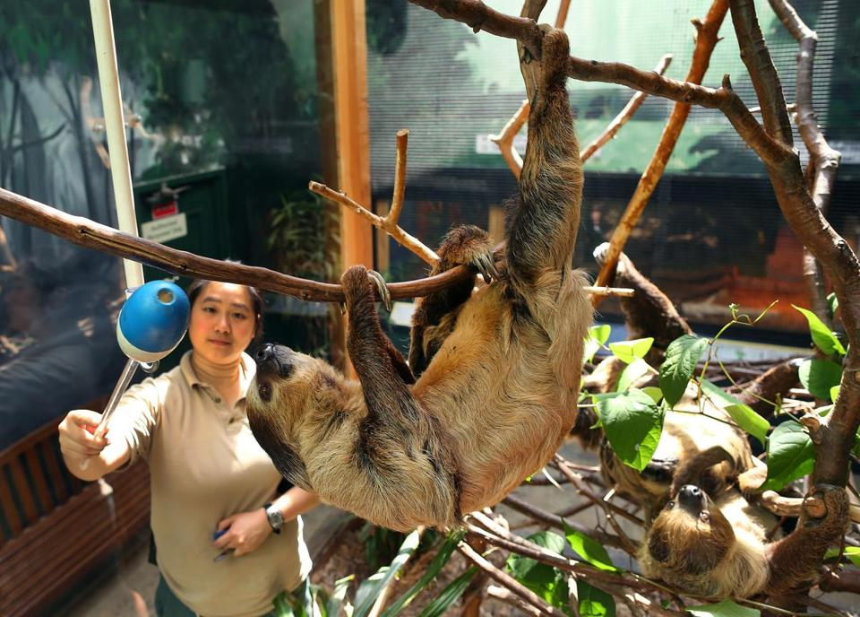 Siv Tang, a lead zookeeper at Franklin Park Zoo, gently uses a target stick to train a two-toed sloth.